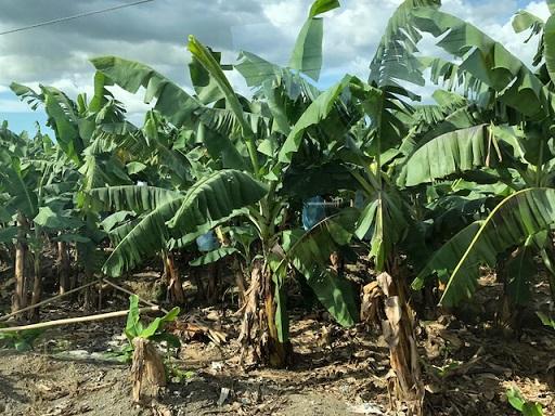 Hijo Resorts Davao's banana plantation. Photos by The FilAm