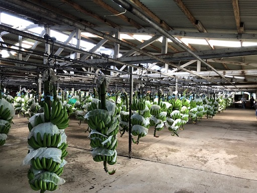 Fresh from harvest, several hundreds of bananas arrive at the processing plant.