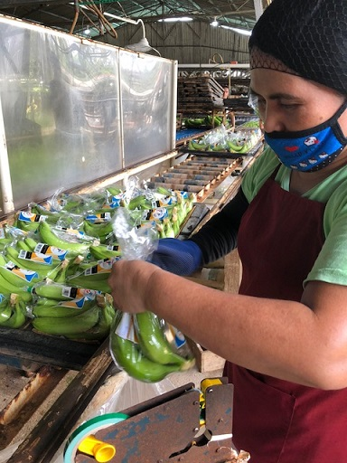 Bananas are sealed in plastic ready for packing