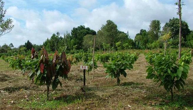 The Malagos cacao nursery in Davao. Photo: Malagos website
